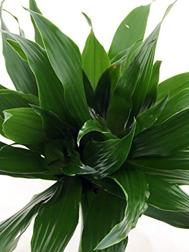 "Janet Craig Dragon Tree - Dracaena fragrans - 6"" Pot - Easy to Grow House Plant"