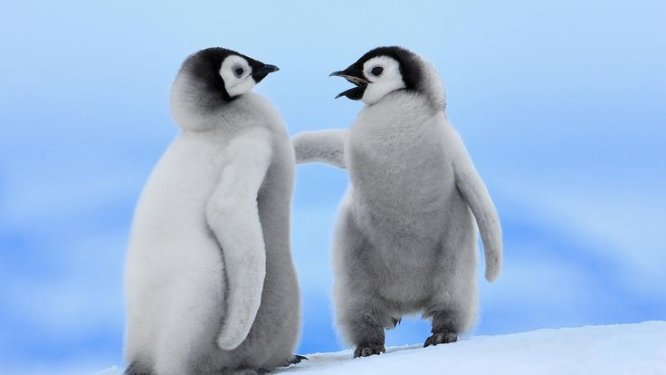 Two Baby Penguins: Animals ️, Cute Penguins, Search, Fluffiest Animals, Animal Wallpaper, Baby Penguins Cuuuute, Wallpapers, Baby Dieren