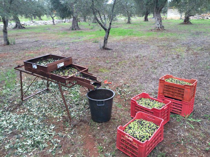 Tools. #sieve #setaccio #olive #olio #oil #extravergine #food #madeinItaly #Italy