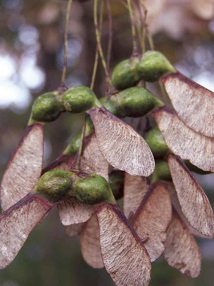 Fall Maple Tree Seed Pods