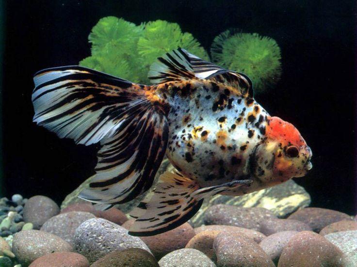 aquarium fish   Download Amphilophus popular aquarium fish Wallpaper in high ...