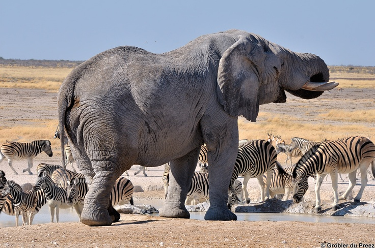 Elephant and zebras a the Nebrownii waterhole in the Etosha National Park of Namibia