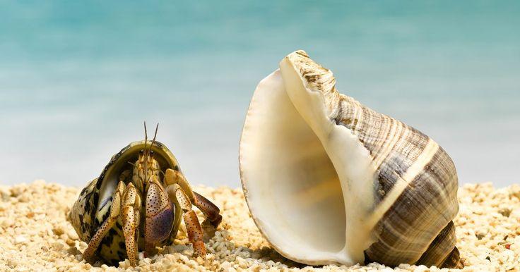 ¿Qué comen los cangrejos mascotas?. Docenas de especies de cangrejos se utilizan comúnmente como animales de compañía, desde cangrejos de tierra a los cangrejos marinos. Para muchos, sus necesidades alimenticias son similares, ya que en su mayoría son carroñeros. Sin embargo, algunas especies necesitan alimentos especiales o suplementos para mantenerse saludables como mascotas.