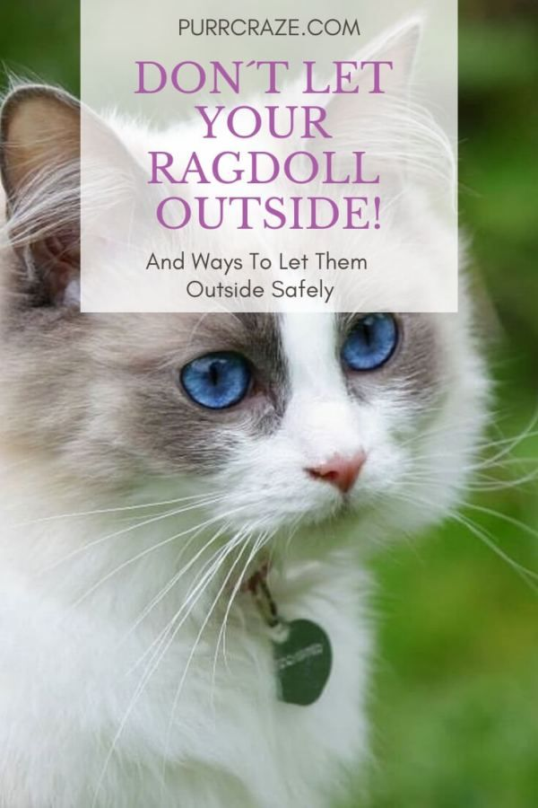 Why You Should Not Let Your Ragdoll Cat Outside Purr Craze Cats Outside Ragdoll Cat Ragdoll