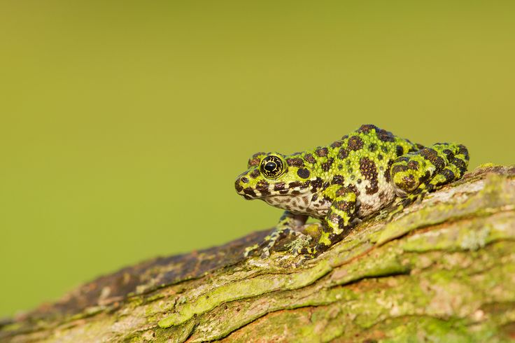 Hyla Ishikawe - Very rare and newly discovered frog species.