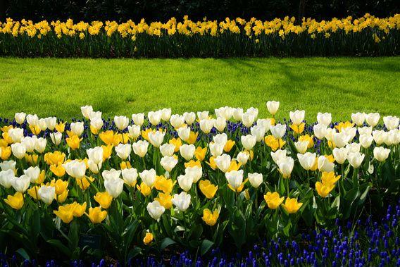 Nieuw in mijn Werk aan de Muur shop: Gele en witte tulpen