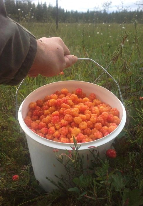 The August cloudberry harvest in Pello in Lapland
