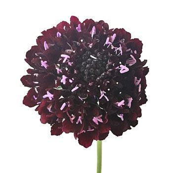 FiftyFlowers.com - Frosted Amethyst Scabiosa Flower