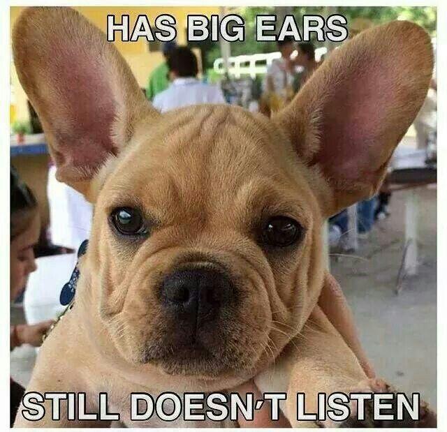 """Has Big Ears......STILL Doesn't Listen"". Funny French Bulldog."