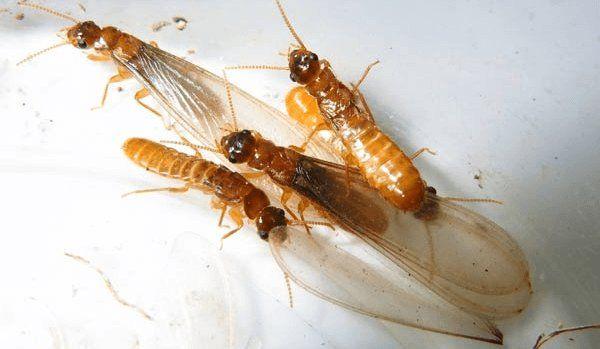 die besten 25 flying termites ideen auf pinterest. Black Bedroom Furniture Sets. Home Design Ideas