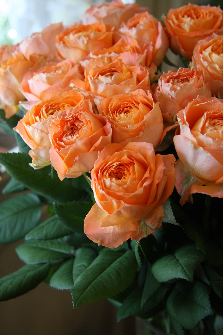 """Orange Garden Rose: 17 Best Images About ROMANTICA ROSES From The""""HOUSE OF"""