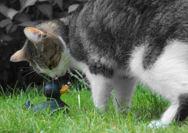 The adventures of a black rubber duck. Meeting  curious cat (Loesje).