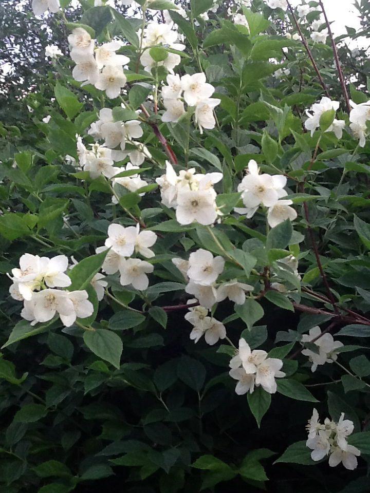 """Schersmin  Plantera en """"Finn"""" bredvid planket- de doftar så gott. Läge: [Sol till halvskugga] [Sol] Sol - halvskugga Vatten: [Medel] Medel Zon: 1 - 4 Höjd: 200 - 300 cm Blomfärg: [Vit] Vita-crèmevita Blomningstid: Juni. Bladfärg: [Grön] Friskt gröna Doft: Ja. Vintergrön: Nej. Jordprodukter: Blomsterlandets planteringsjord. Näring: Algomin trädgårdsgödsel och kogödsel. Växtsätt: Graciöst med överhängande grenar och upprätt vasformigt. Beskärningstid: Juli-september (jas-perioden) och på…"""