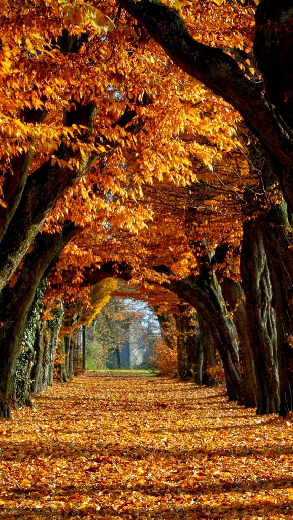 avenue_autumn_trees_long-term_leaves_gold_path_61484_640x1136 | por vadaka1986