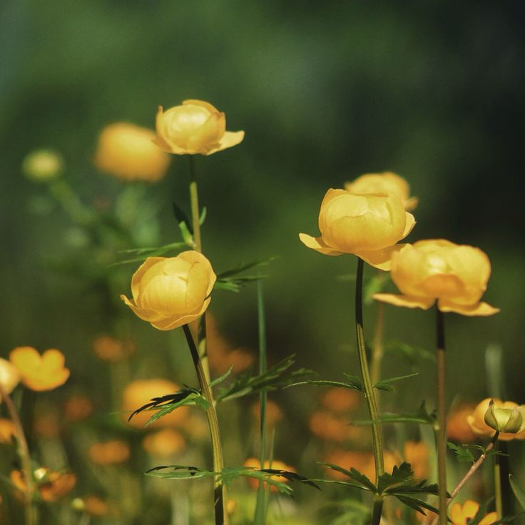 Buttercups, gold of the mountains