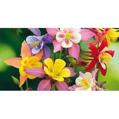 Akleja, Pastell- 'Mckana Giants'- Aquilegia × cultorum #blommor #frö