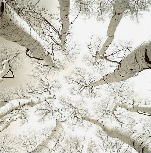white on #white #birch