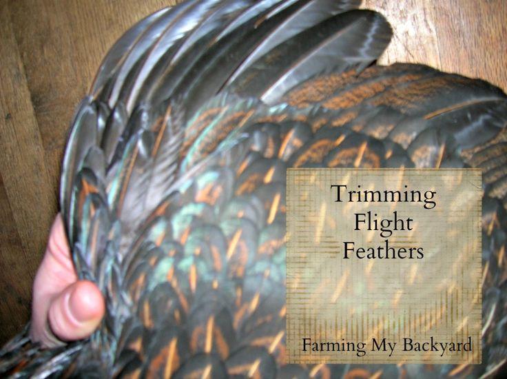Trimming Flight Feathers @ Farming My Backyard