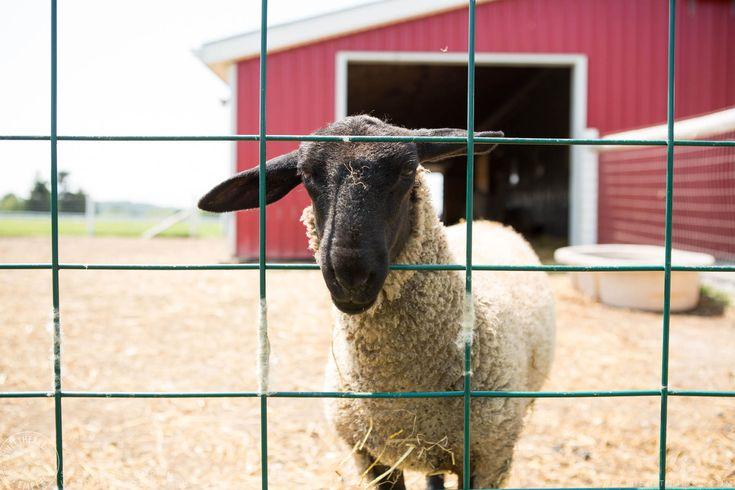 Rockway Vineyards Wedding, Niagara - Farm animals #sweetheartempirephotography