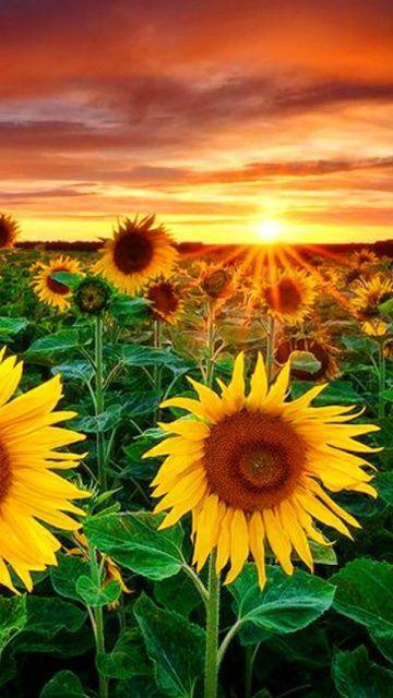 http://files.vividscreen.com/soft/538af36d09ba7fc7cfea11cc0a7dacae/Beautiful-Sunflower-Field-At-Sunset-360x640.jpg