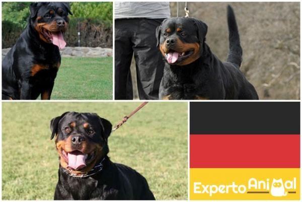 Rottweiler americano y alemán - Diferencias y características de cada uno