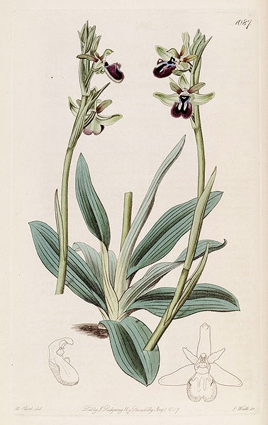 Ophrys sphegodes subsp. atrata (as Ophrys atrata) - Bot. Reg. 13 pl. 1087 (1827) Designer: M. Hart - Engraver: J. Watts http://commons.wikimedia.org/wiki/Category:The_Botanical_Register_(Orchidaceae)