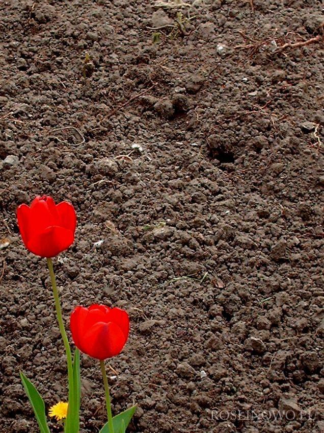 tulipany na tle gleby