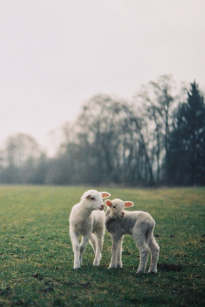 Lammies