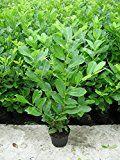 10 Kirschlorbeer Pflanzen, Prunus Novita, Höhe: 60-70 cm ab Topfoberkante