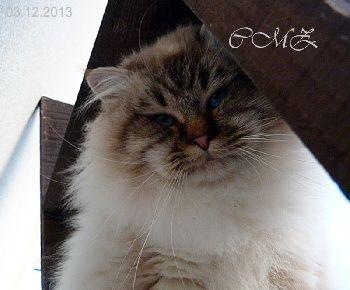 Elevage du château Mermoz - eleveur de chats Sacré de Birmanie