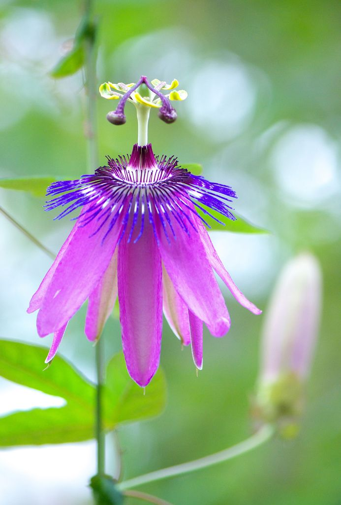 Passion-flower: Passiflora 'Amethyst' [Family: Passifloraceae]; by HIRO.M.