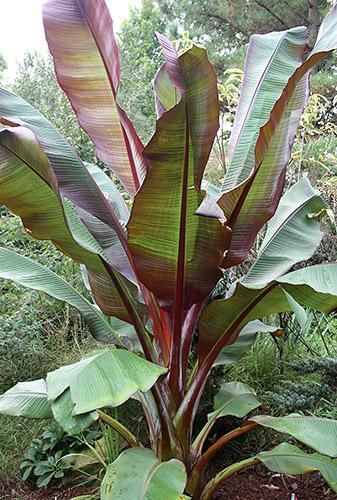 Red Abyssinian Banana)