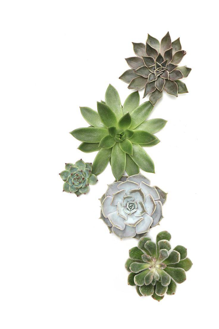 succulents | STILL (mary jo hoffman)