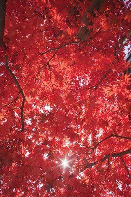 Hojas de arce en un árbol. Japón, Honshu, Región de Kinki, Prefectura de Kioto, Arashiyama, Templo Adashino-Nenbutsu-ji.
