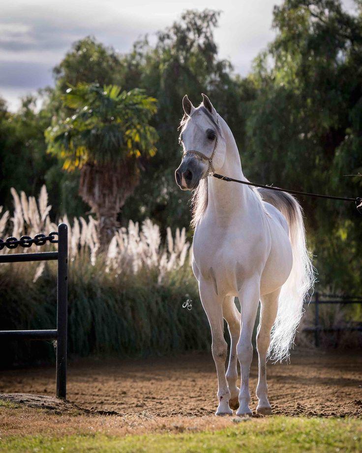 Om El Al Azeem (*Al Lahab Gasb x Om El Beneera) Om El Al Azeem is by World Champion Stallion, *Al Lahab and out of our youngest *Estopa daughter