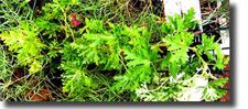 Citronella Plant | Pelargonium citrosum | Mosquito Plant This plant has pretty lavendar blooms, but does NOT repel mosquitoes. Citronella GRASS has the oils that repel. Need to look up...