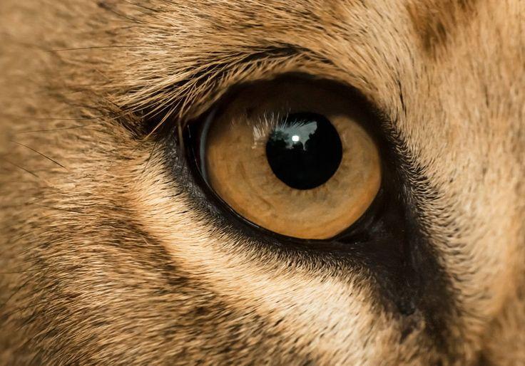 lion eye closeup by henrik vind on 500px photos from. Black Bedroom Furniture Sets. Home Design Ideas