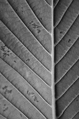 Veronica Lindo - The Leaf. Black and white close up photograph of a leaf.