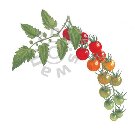 Excellent Images For - Tomato Plant Botanical Drawing