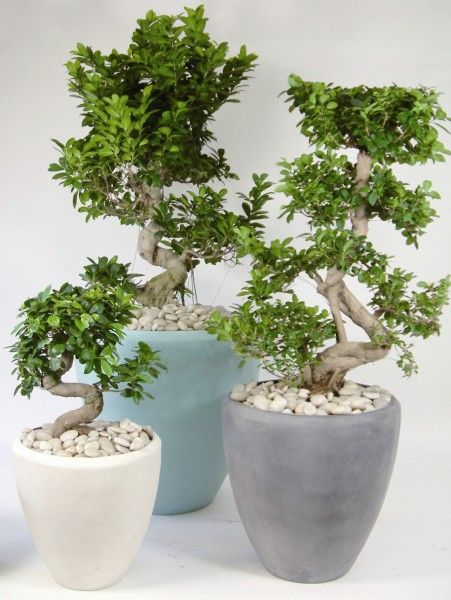 antoinette pots planted with s shaped ficus ginseng lets. Black Bedroom Furniture Sets. Home Design Ideas