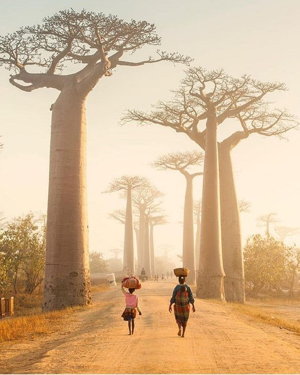 Baobab trees in Madagascar : pics