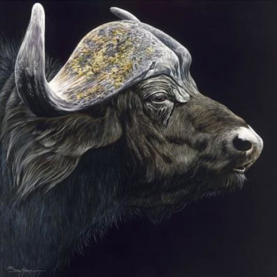 Profile of a Cape Buffalo - Sally Maxwell, master scratchboard artist