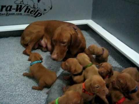 Vizsla Puppies - 3 weeks old