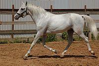Терская лошадь — выведена в 20-е годы в Ставрополье, на Северном Кавказе, с целью замены Стрелецкой породы Масть почти всегда серая с серебряным оттенком; редко гнедая и рыжая