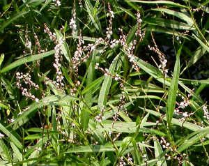 The Benefits of Smartweed (Polygonum hydropiperoides) - Global Healing Center