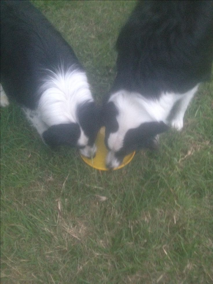 PADDY/PAMMY.........ANOTHER GREAT USE FOR A FRISBEE! WATER DISH! dogsbigdayout.com.au