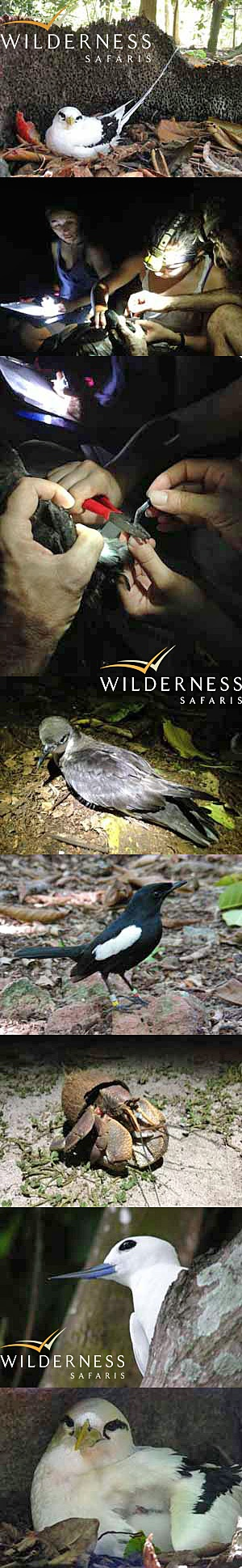 We Are Wilderness - Javier Cotín, Environment Officer of North Island, recently visited Aride in the company of Dr. Gerard Rocamora, to join the monitoring of their shearwater colony and get to know a future North Islander, the Seychelles Magpie Robin. Click on the image for the full story.