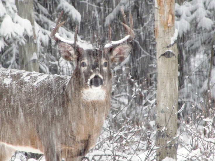 Whitetail ... first snow of the fall. | Oh, Dear Deer ...