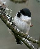 Willow Tit.