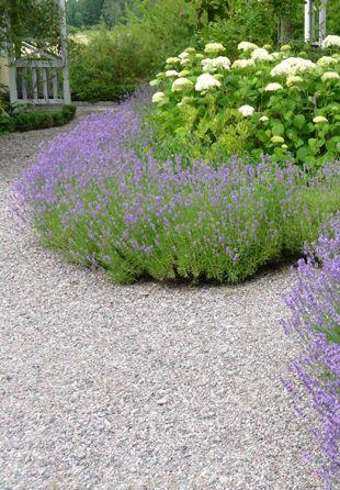 lavendelhäck lavender hedges for along my woods